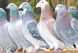 cuidados com os pombos correios