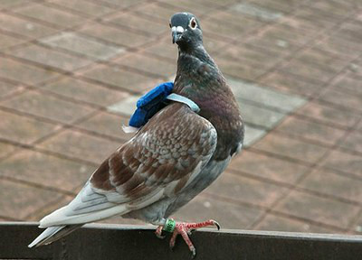 pombo correio