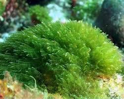 alga6