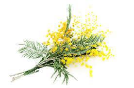 Acácia amarela