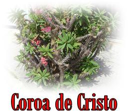Coroa de Cristo