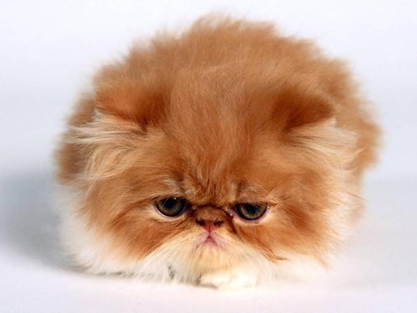 gato persa teacup mini gato persa