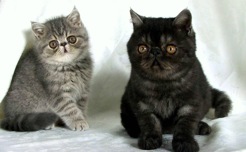 Lindos Gatos de Raca Exoticos