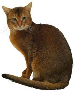 lindos gatos Abyssinian
