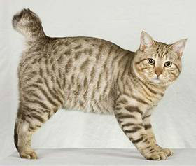 lindos gatos American Bobtail