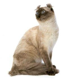 lindos gatos American Curl