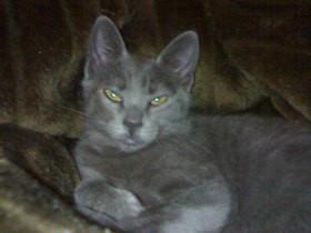 lindos gatos Azul Russo