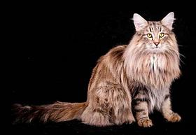 lindos gatos Bosques da noruega