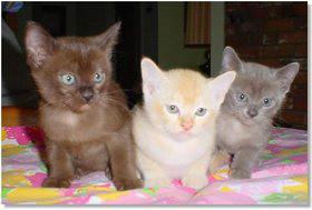 lindos gatos Burmese