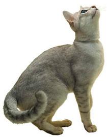 lindos gatos burmilla