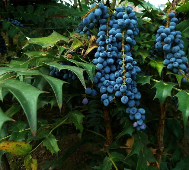 benefícios, uva de oregon