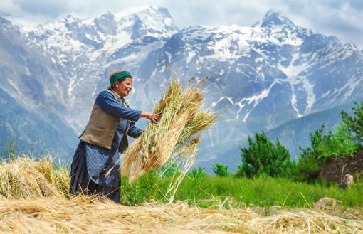 Cultivo de trigo na Cordilheira dos Andes.