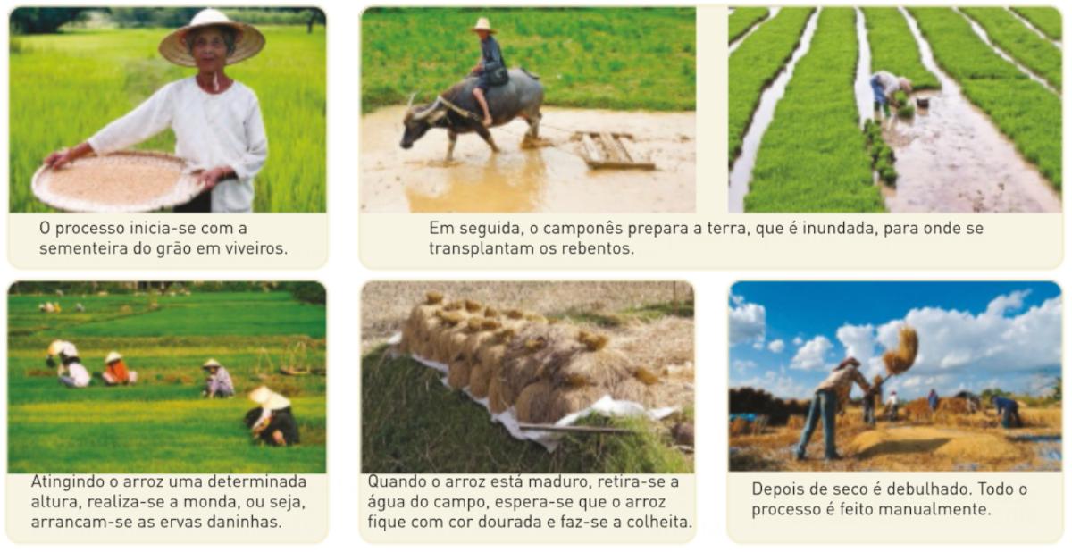 Diferentes etapas de cultivo do arroz.