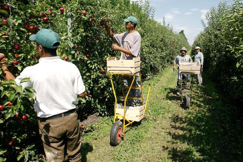 Imigrantes na apanha da maçã em Marrocos.