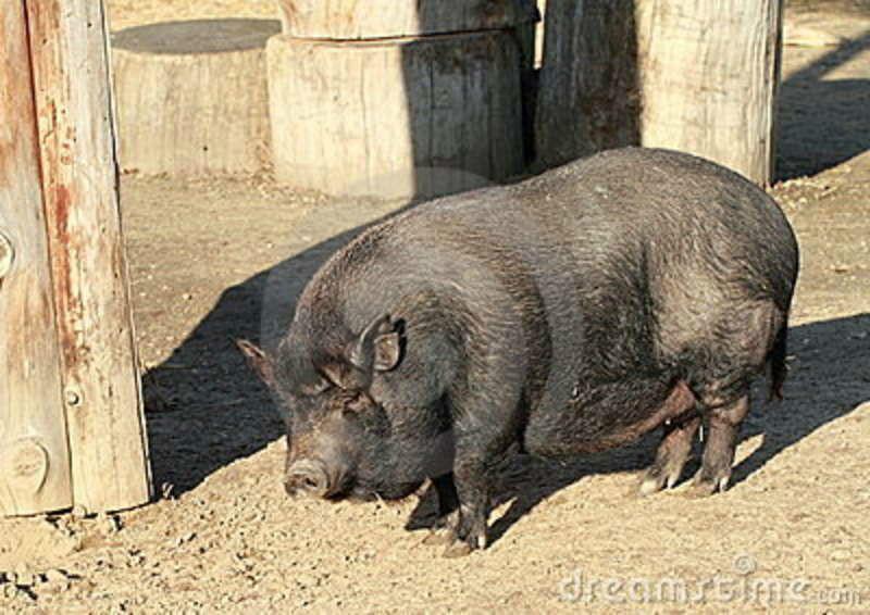 Imagem porco.