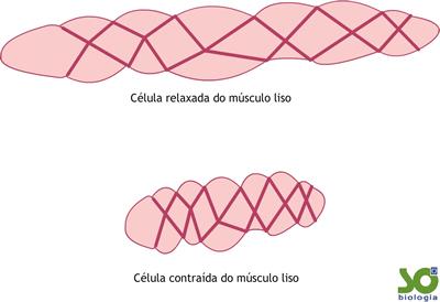 célula lisa relaxada